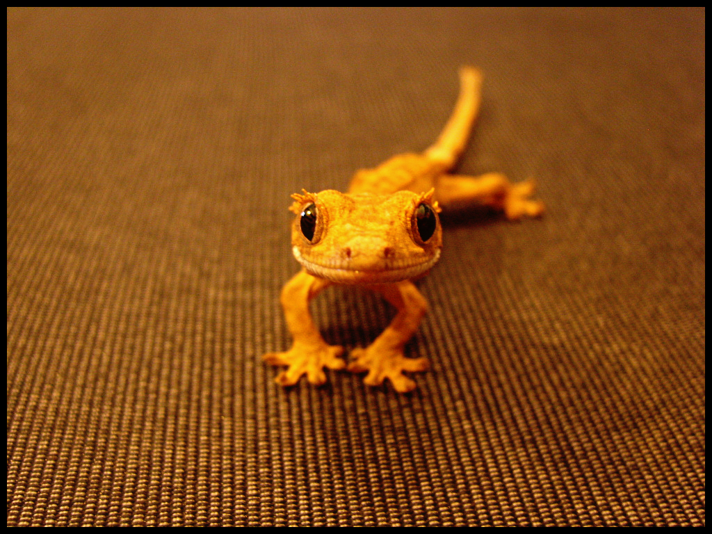 What Baby Food Can Crested Geckos Eat
